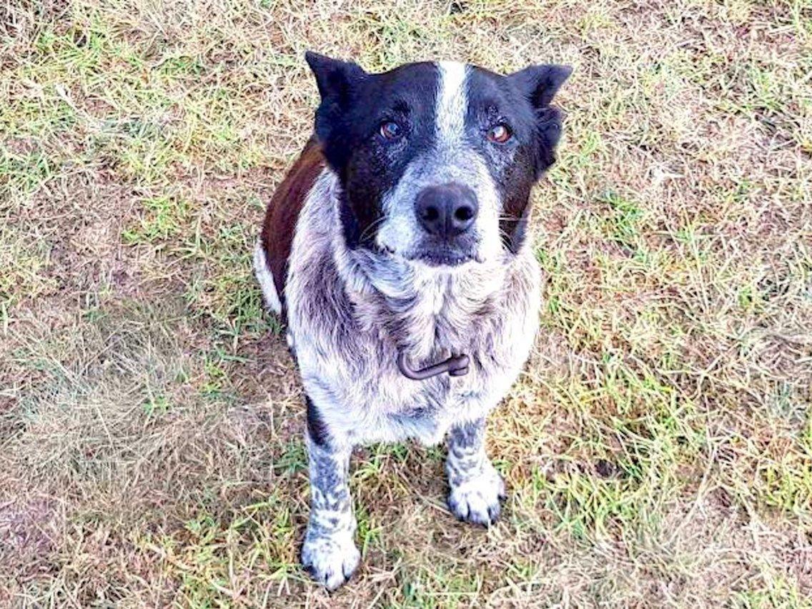 Max, o cão que salvou a bebé na Austrália