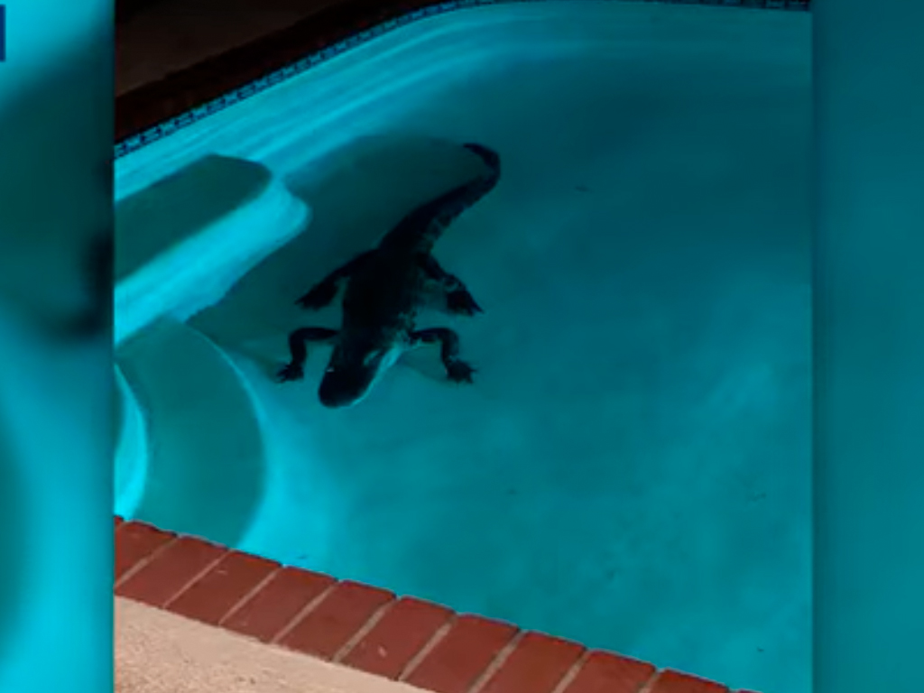 Jacaré numa piscina